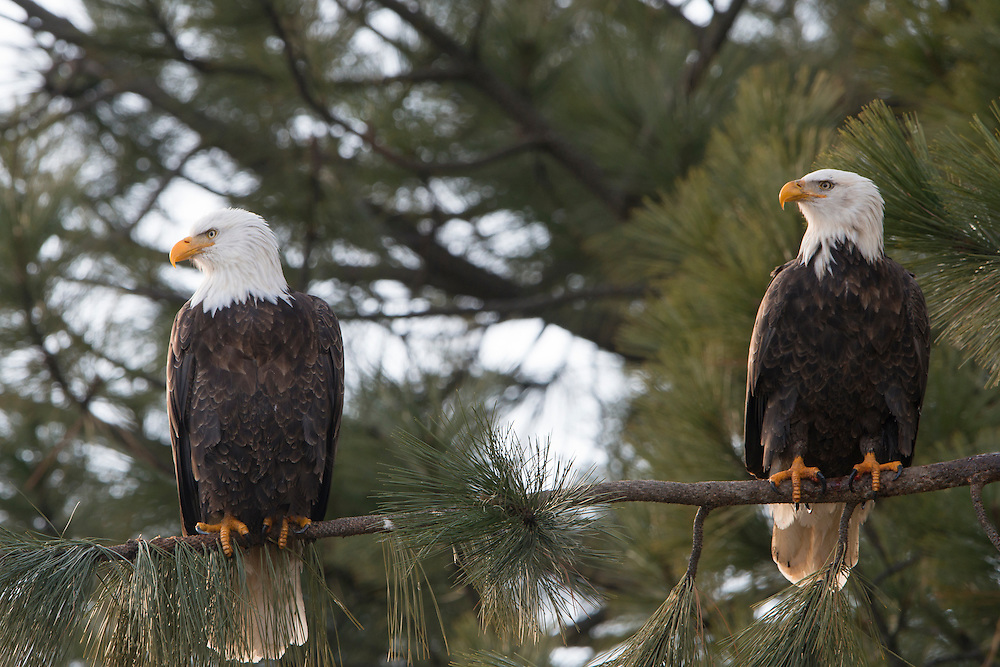 A pair of bald eagles (Haliaeetus leucocephalus) perched on a limb of a pine tree, Idaho