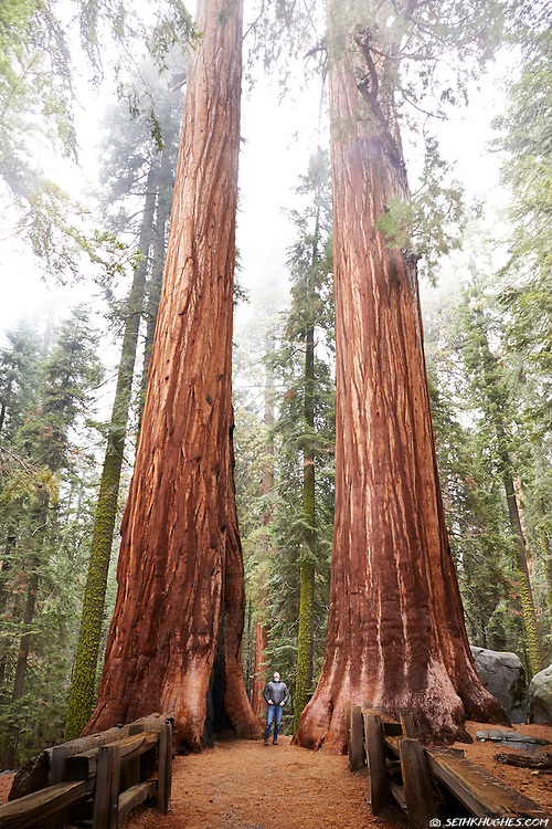 A humbled hiker looks up in awe at the towering sequoia trees in the old-growth Giant Forest of Sequoia National Park, California.