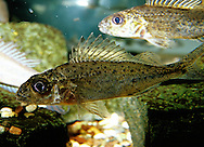 Ruffe<br />
