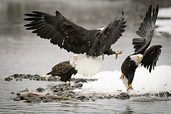 Bald eagles (Haliaeetus leucocephalus) fight over a salmon carcass on the banks of the Chilkat River in the Alaska Chilkat Bald Eagle Preserve. During late fall, bald eagles congregate along the Chilkat River to feed on salmon. This gathering of bald eagles in the Alaska Chilkat Bald Eagle Preserve is believed to be one of the largest gatherings of bald eagles in the world.