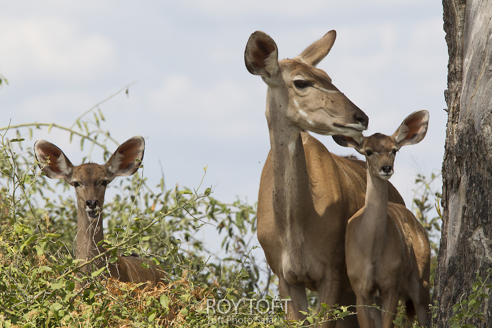 Adult and juvenile Greater kudu, Duba Plains, Botswana