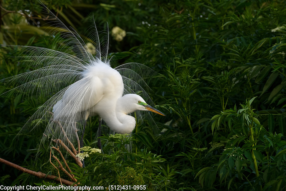 Male Great Egret showing off his plumage