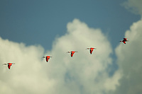 A group of Scarlet Ibises (Eudocimus ruber) flying in a line though a cloudy sky.