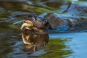 Giant Otter (Pteronura brasiliensis)<br /> Northern Pantanal<br /> Mato Grosso<br /> Brazil