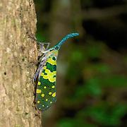 Pyrops viridirostris, lantern bug. Chaloem Phrakiat Thai Prachan National Park, Thailand.