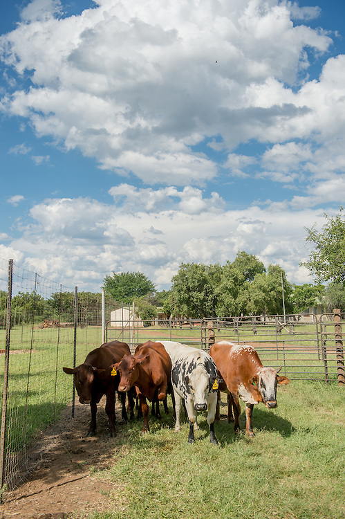 SOUTH AFRICA- Bonsmara and Nguni cows on farm.