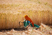 Barley crop being harvested by local agricultural female worker wearing Rajasthani sari and veil in field at Nimaj, Rajasthan, Northern India