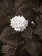 Hydrangea - The Towers Garden, Jackson Heights - Queens, New York