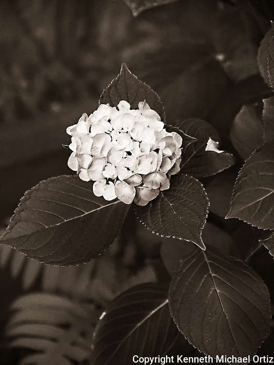 Hydrangea - The Towers Garden, Jackson Heights - Queens, New York