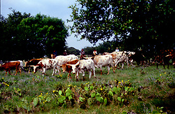 herd of longhorn cattle grazing in a field