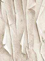 monochrome high key Madrona (Arbutus menziesii)bark peeling