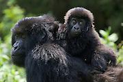 Mountain Gorilla<br /> Gorilla gorilla beringei<br /> 10 mos old infant riding on mother's back<br /> Parc National des Volcans, Rwanda