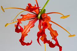 Gloriosa Lily #10