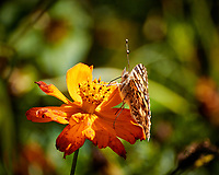 Orange Zinnia flower with a Painted Lady butterfly. Autumn Backyard Nature in New Jersey. Image taken with a Nikon 1 V3 camera and 70-300 mm VR telephoto zoom lens (ISO 200, 300 mm, f/5.6, 1/400 sec).