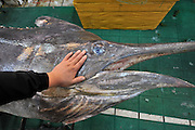 QINGDAO, CHINA - SEPTEMBER 12: (CHINA OUT) <br /> <br /> Fisherman Catches Over 300 Kilograms Swordfish<br /> <br /> Head of a 310-kilogram weight swordfish at a wild seafood supermarket on September 12, 2015 in Qingdao, Shandong Province of China. A fisherman caught a swordfish on Friday in Yellow Sea which weighted 310 kilograms and was in 4.1 meters long. The swordfish has carried to a seafood supermarket in Qingdao City.<br /> ©Exclusivepix Media
