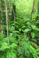 Thick, green rainforest of the Daintree National Park.