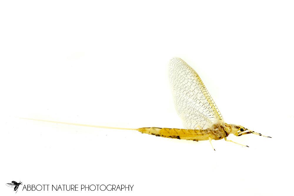 Common Burrowing Mayfly (Hexagenia limbata) subimago<br /> United States: Alabama: Tuscaloosa Co.<br /> Tulip Tree Springs off Echola Rd.; Elrod<br /> 16-May-2017<br /> J.C. Abbott #2947